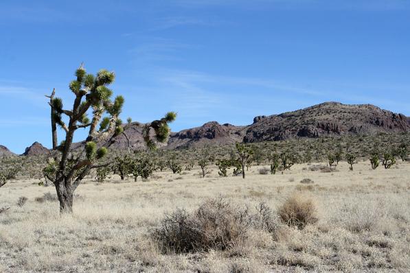 Grassland habitat in the Mojave Desert near the Nevada State Line   Chris Clarke photo