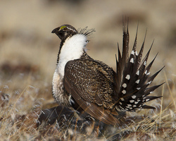 Greater Sage Grouse | USFWS photo