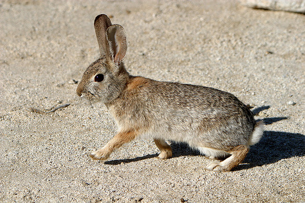 Desert cottontail in Anza-Borrego Desert State Park | Creative Commons photo by Alan Vernon