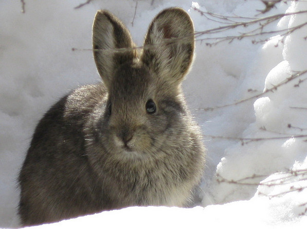 OMG squee! Pygmy rabbit in Utah | Creative Commons photo by Nelson Stauffer