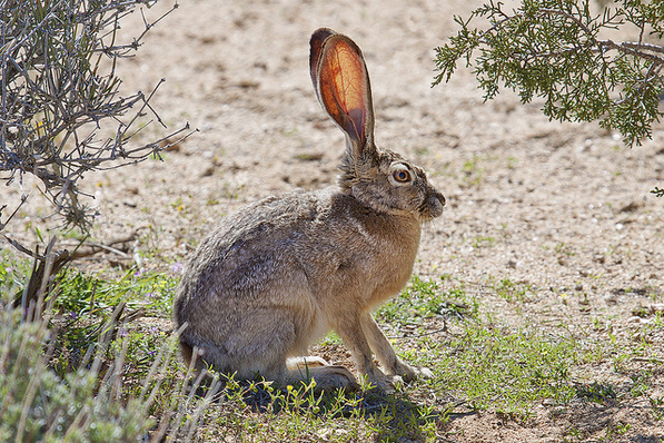 Black-tailed jackrabbit | Creative Commons photo by Bill Bouton