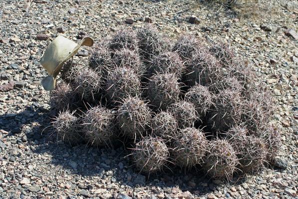 Echinocactus polycephalus with size XL hat | Chris Clarke photo