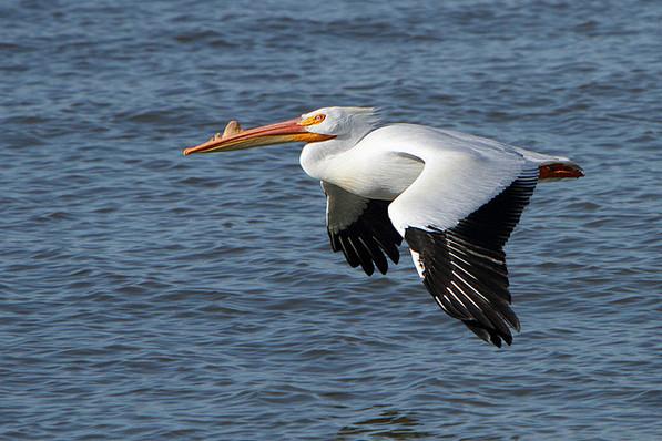 White Pelican at the Salton Sea, with breeding-season bill growth | Creative Commons photo by Alan Vernon