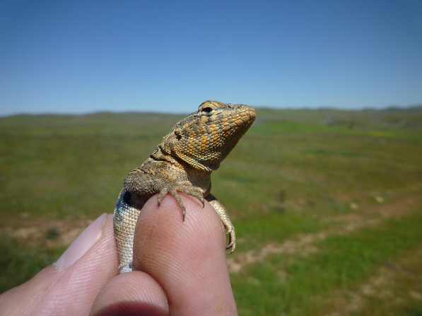 A side-blotched lizard | Creative Commons photo by randomtruth