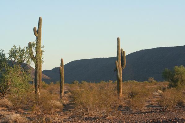 Saguaros | Chris Clarke photo