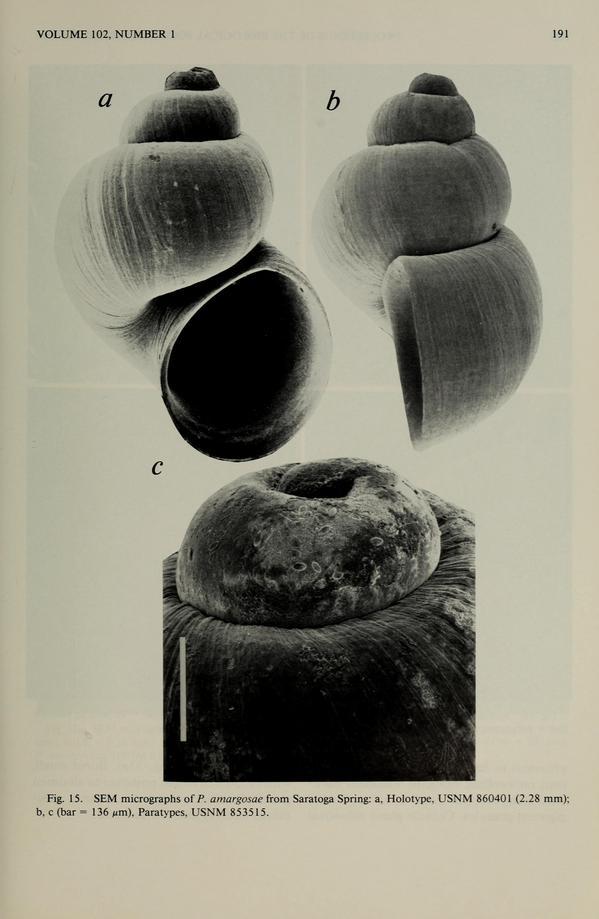 pyrgulopsisamargosae-thumb-600x919-31181