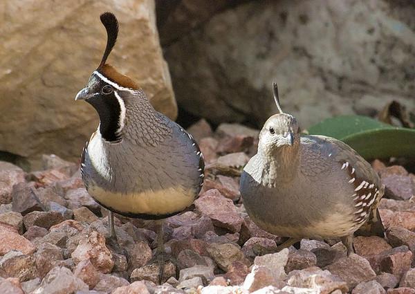 gambels-quail-pair-7-17-12-thumb-600x425-32478