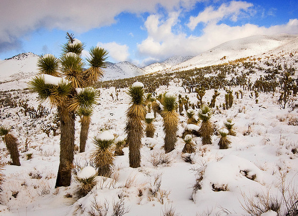 Joshua-trees-snow-9-29-12-thumb-600x435-36689