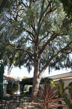 Goleta's other famous big tree, an Australian willow. | Photo: Courtesy Randy Baldwin/San Marcos Growers