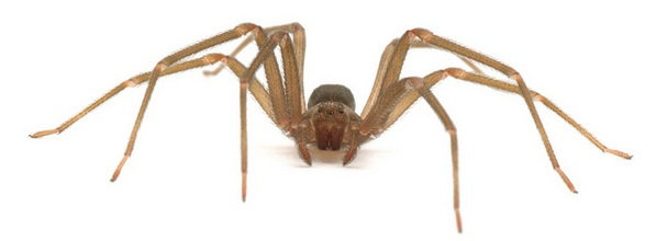 The dreaded Brown Recluse. Hide the children! | Creative Commons photo by A. Jaszlics
