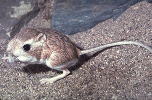 The Kangaroo Rat | Photo © Dr. Lloyd Glenn Ingles, California Academy of Sciences