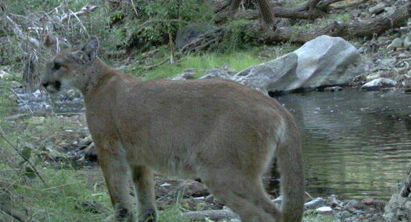 This mountain lion captured on a remote wildlife camera died in 2011 when it attempted to cross the 405 Freeway. | Photo: Courtesy National Park Service