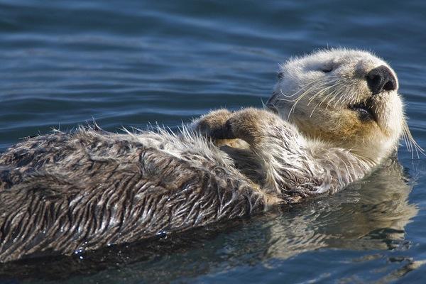 sea-otter-history1