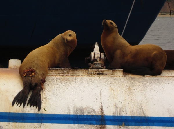 The sea lion on the left, attacked by a shark in recent days, looks sad. | Photo: Courtesy of Santa Barbara Harbor Patrol