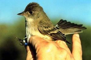 The Southwestern Willow Flycatcher | Photo Courtesy USGS