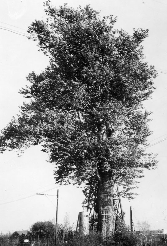 Compton's Eagle Tree, which once marked the northern boundary of Rancho San Pedro