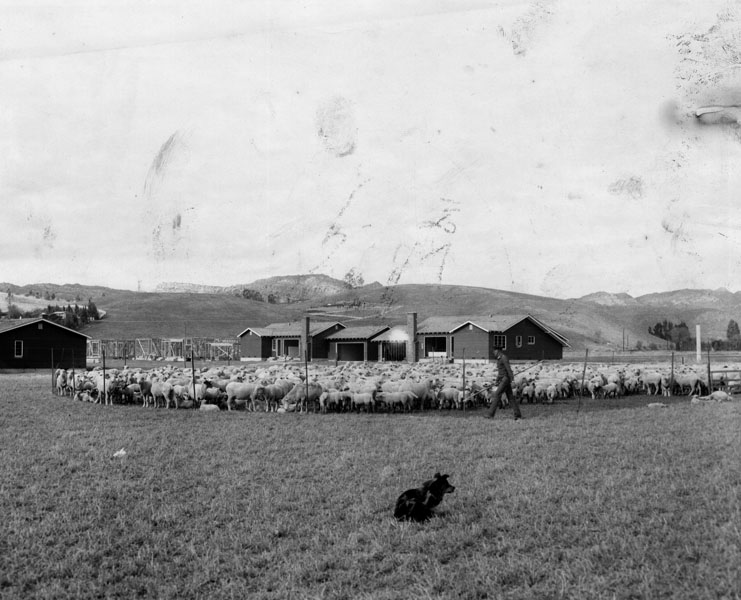 View of sheep grazing in Topanga Canyon while carpenters hammer together frames of homes for a new subdivision. This scene was typical throughout the San Fernando Valley on February 16, 1957, where agriculture was fast giving way to homes and industry.
