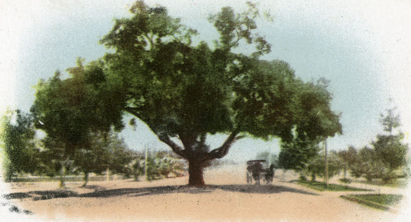 A carriage passes beneath an oak tree in the middle of Pasadena's Orange Grove Avenue