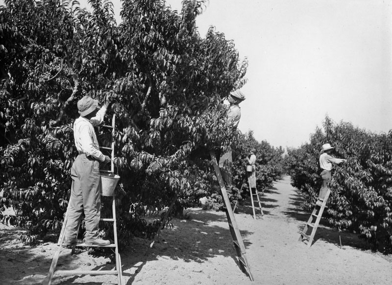 Workers on ladders are picking peaches in an orchard in the San Fernando Valley.