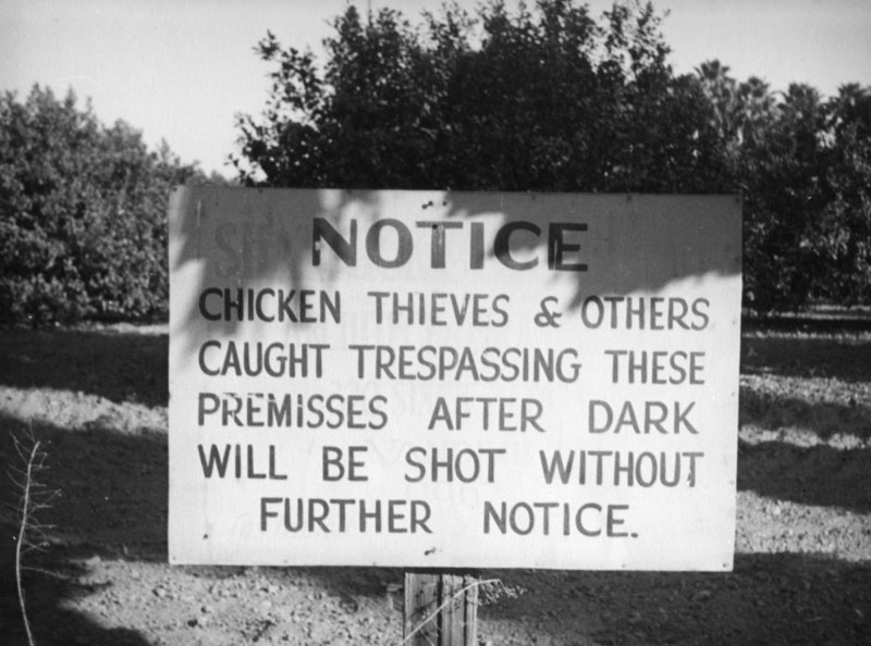 Chicken thieves