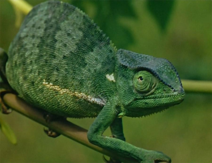 Chameleon - Color