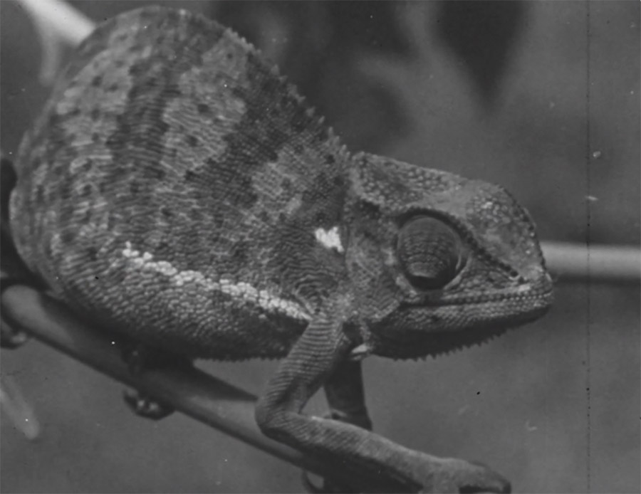 Chameleon - Grayscale