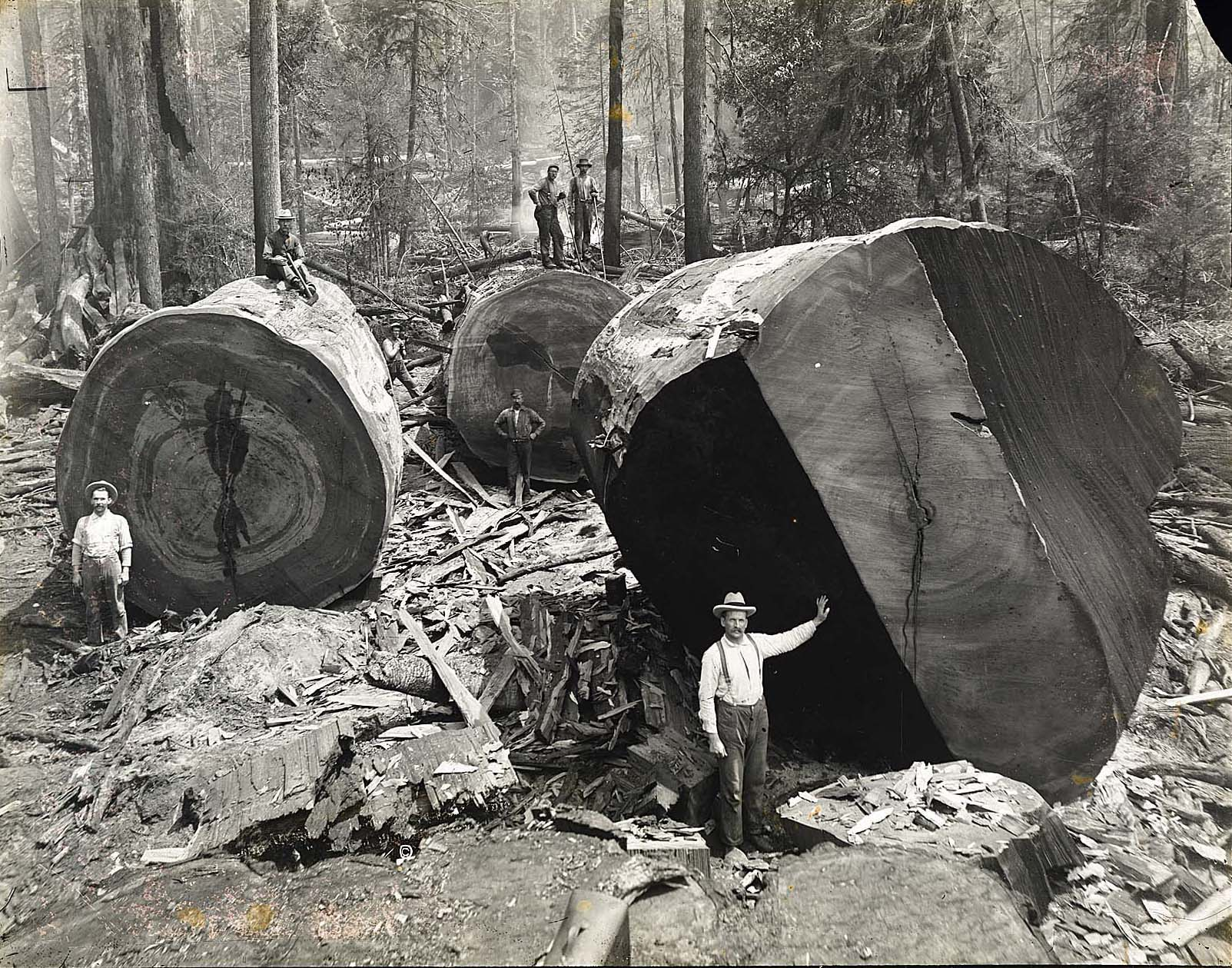 Redwood logging in Vance Woods
