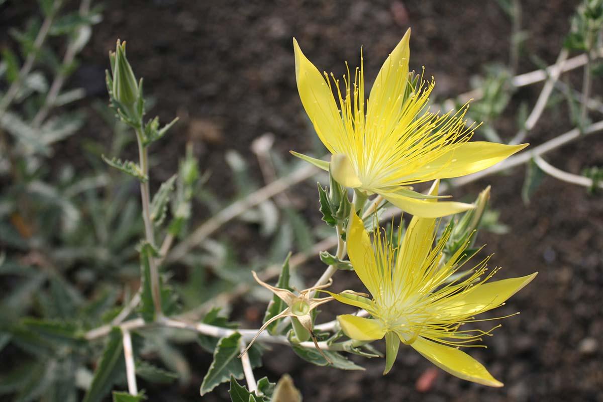 Blazing star (Mentzelia laevicaulis) at Griffith Park| Courtesy of Gerry Hans