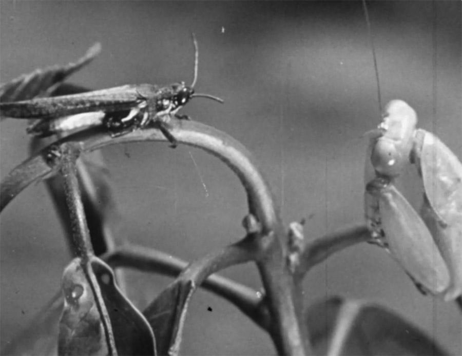 Praying Mantis - Grayscale