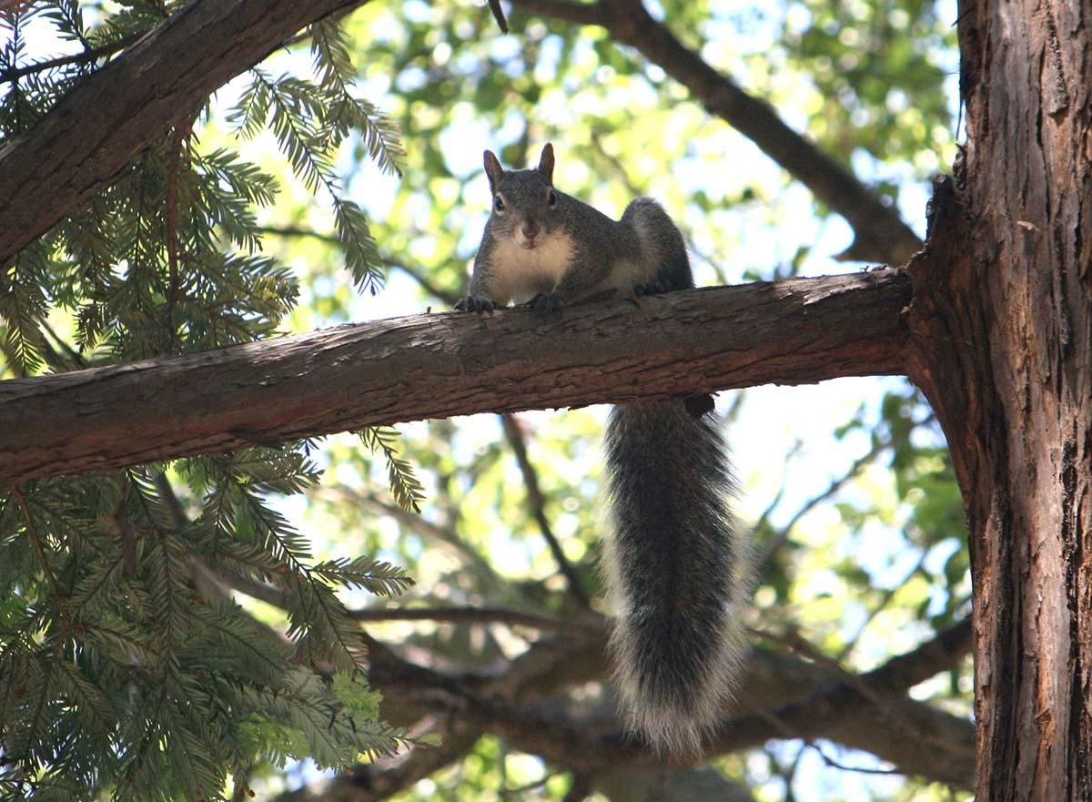 Western gray squirrel (Sciurus griseus) of Griffith Park| Courtesy of Gerry Hans