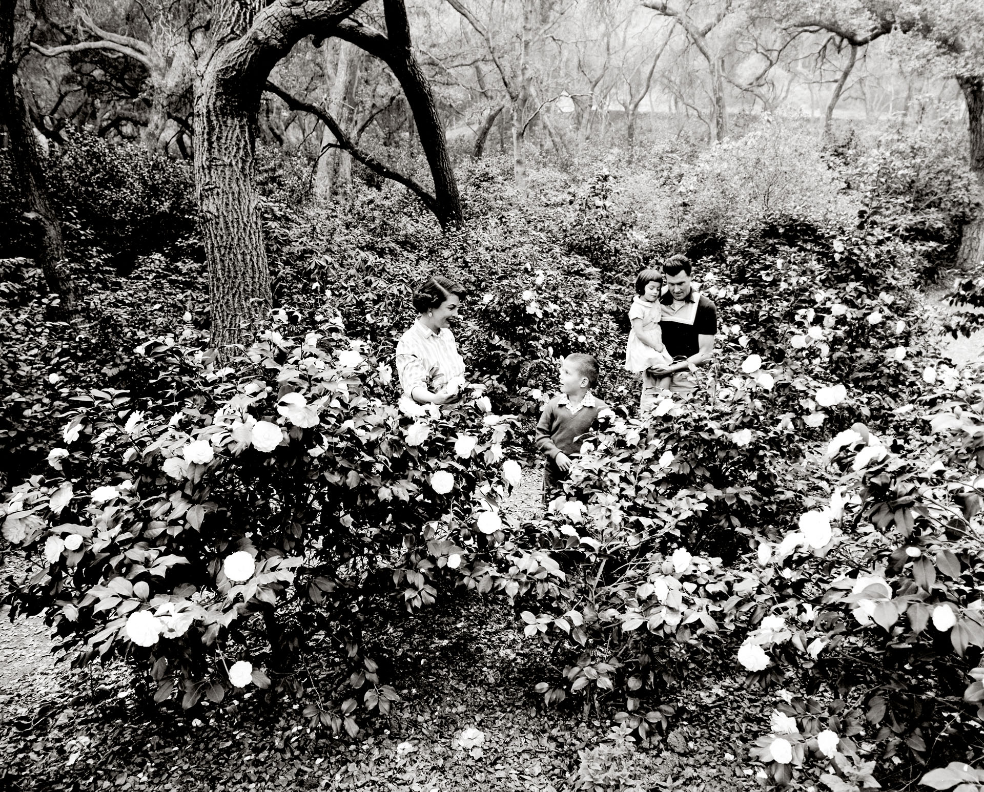 Camellias beneath oak trees at Descanso Gardens