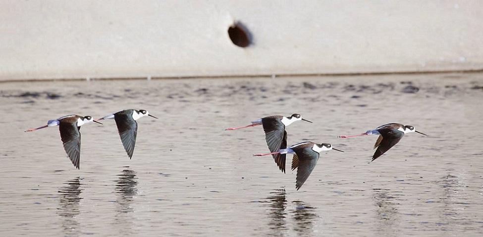 Black Necked Stilts: LA River Birds