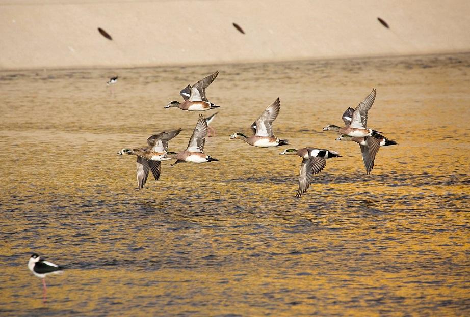 American Wigeon: LA River Birds