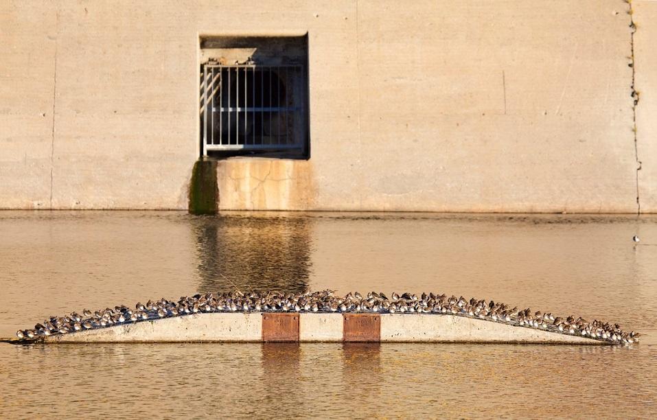 Least Sandpipers: LA River Birds