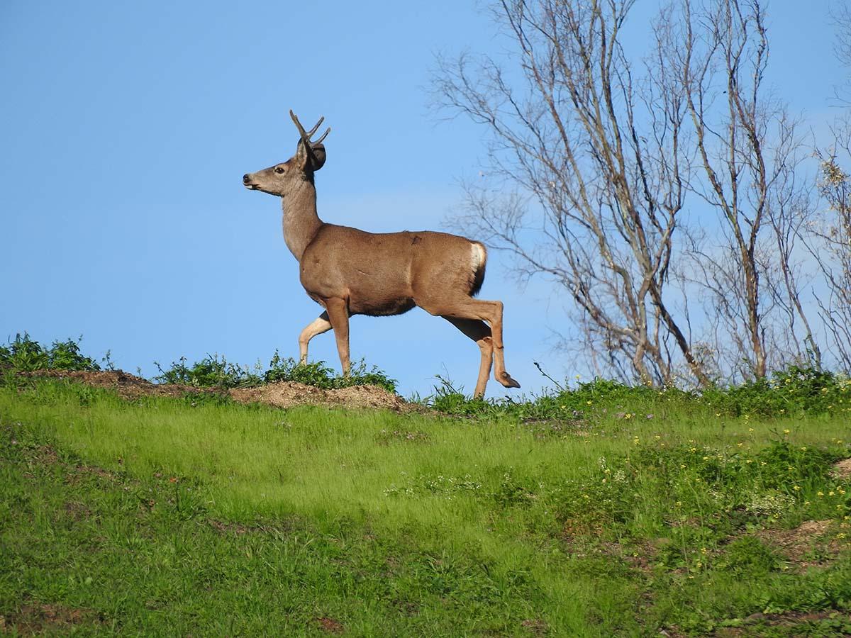 Mule deer (Odocoileus hemionus californicus) of Griffith Park| Courtesy of Gerry Hans