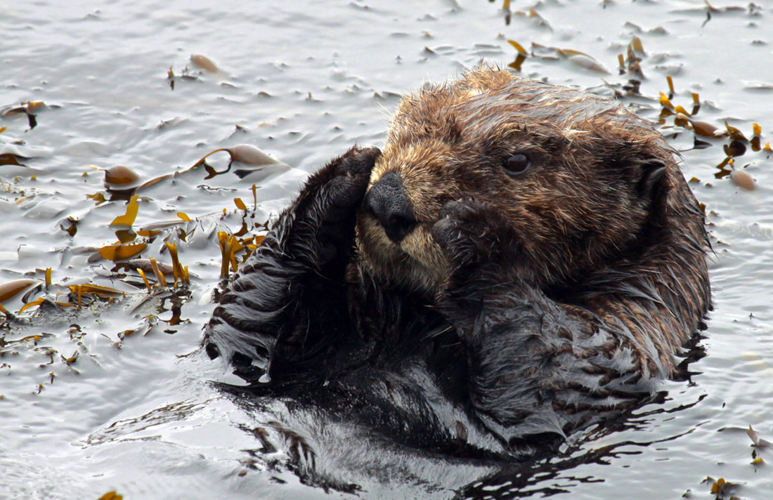Sea Otters (2)