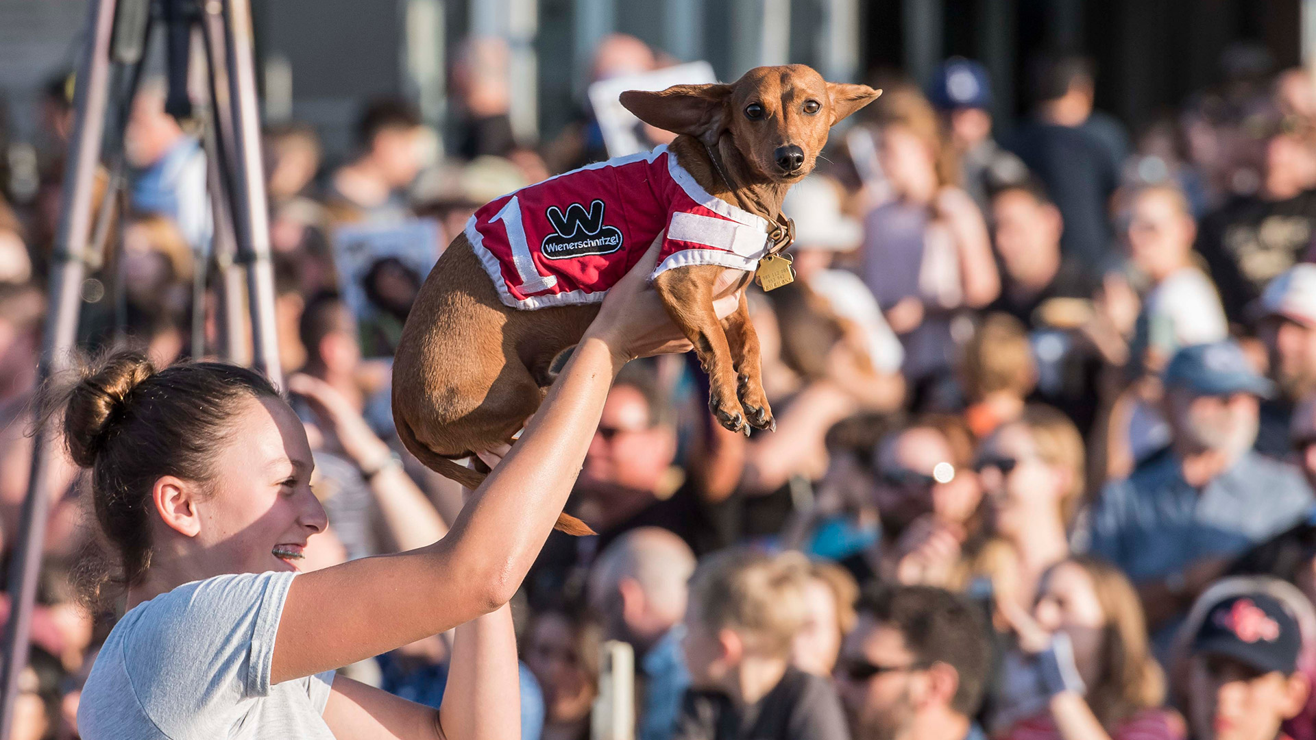 A girl with braces holds up a dachshund wearing a red racing shirt.