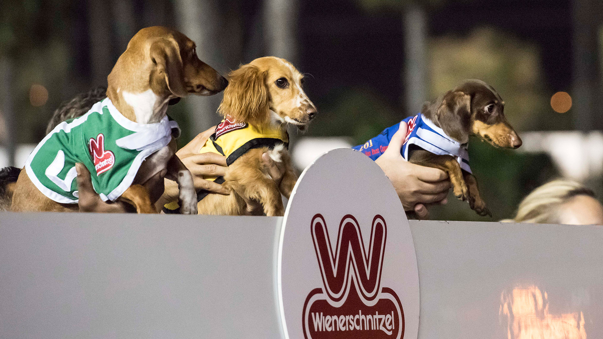 Dachshunds being held up by their owners behind a Wienerschnitzel sign.