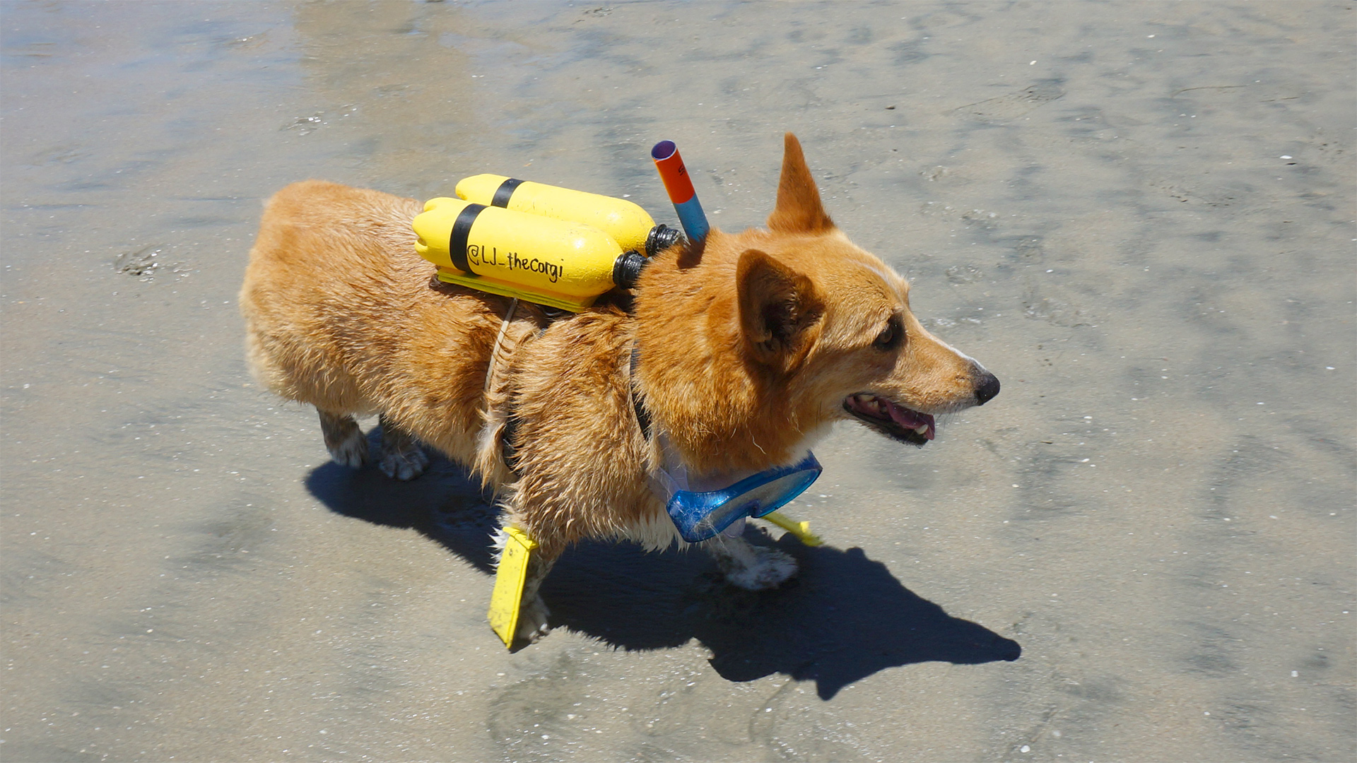 A light brown corgi dons a yellow oxygen tank and snorkeling goggles.