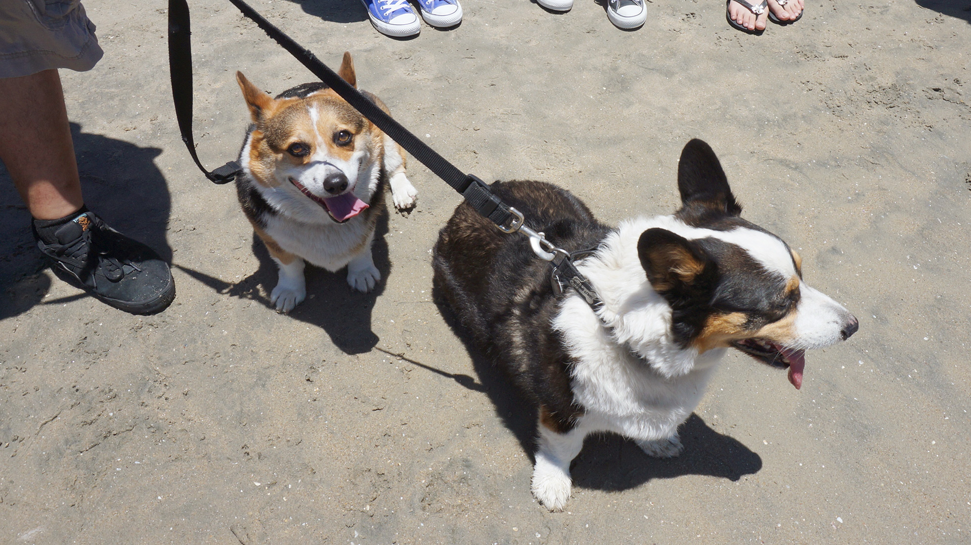 A tri-colored corgi looks up at the camera while another looks to the side.