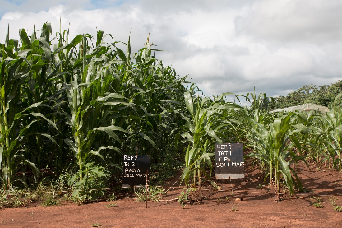 Basin Planted Conservation Agriculture (Left) vs. Conventional Farmer's Practice Ridge and Furrow (Right)