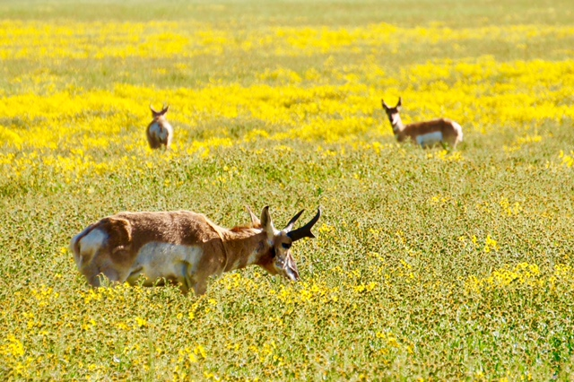 Pronghorn during a superbloom. | Joyce Britton/U.S. Bureau of Land Management/Public Domain