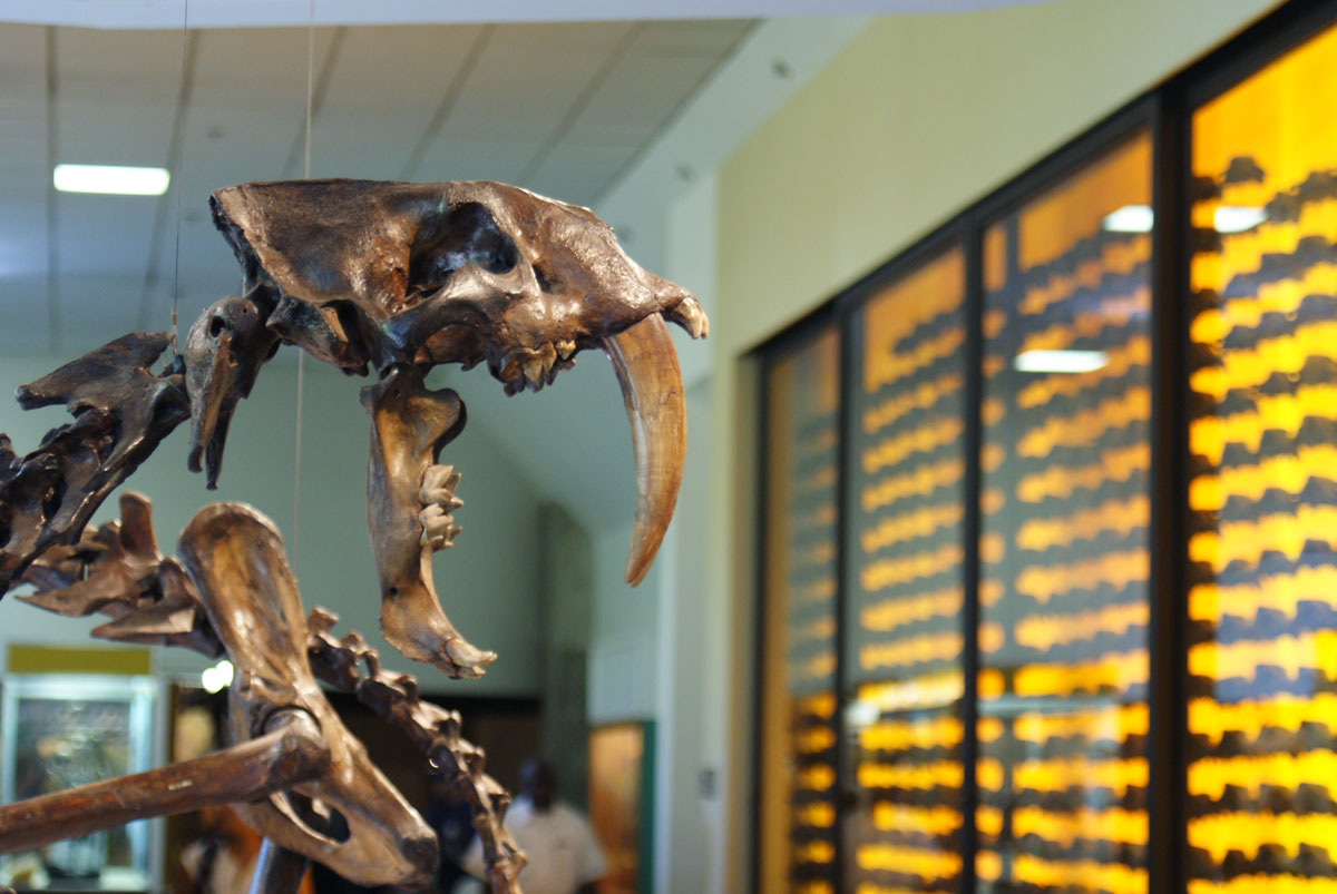 Fossils at the Page Museum at the La Brea Tar Pits | Dallas Krentzel/Flickr