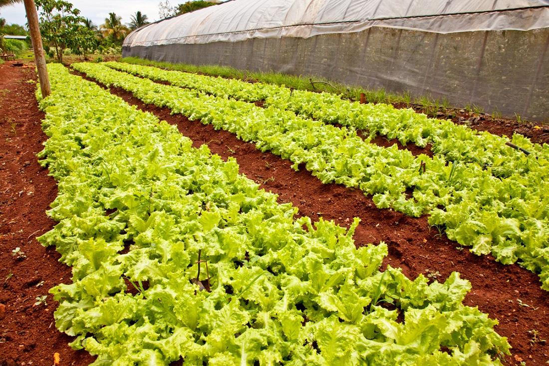 Lettuce: Urban Organic Farm in Cuba