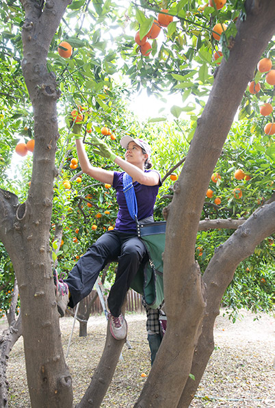 Food Forward volunteer Danielle Goldberg picks oranges in Woodland Hills. 2014. | Courtesy of Angel City Press