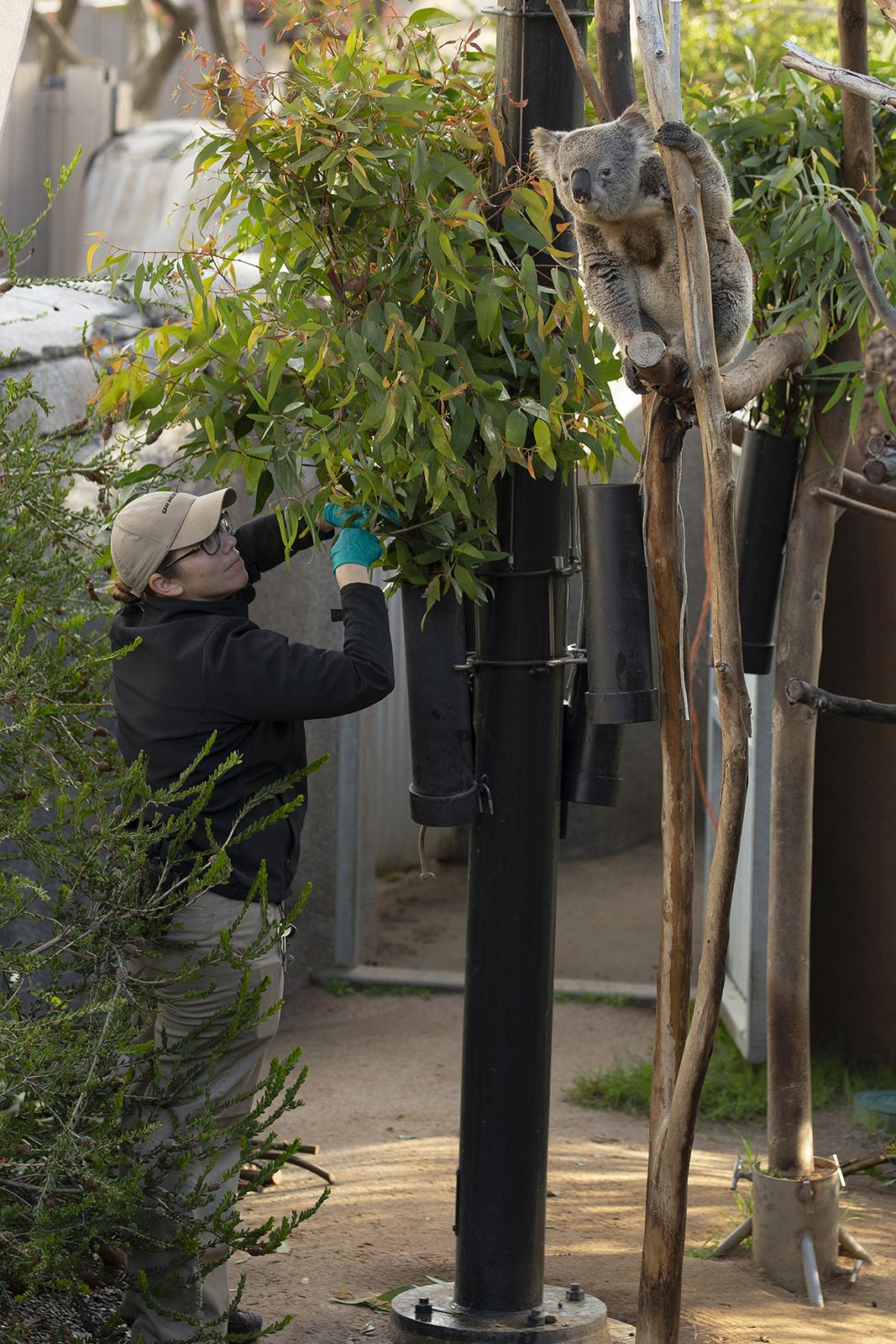 A Koala hangs from a tree. | Taken on March 25, 2020 by Tammy Spratt/San Diego Zoo