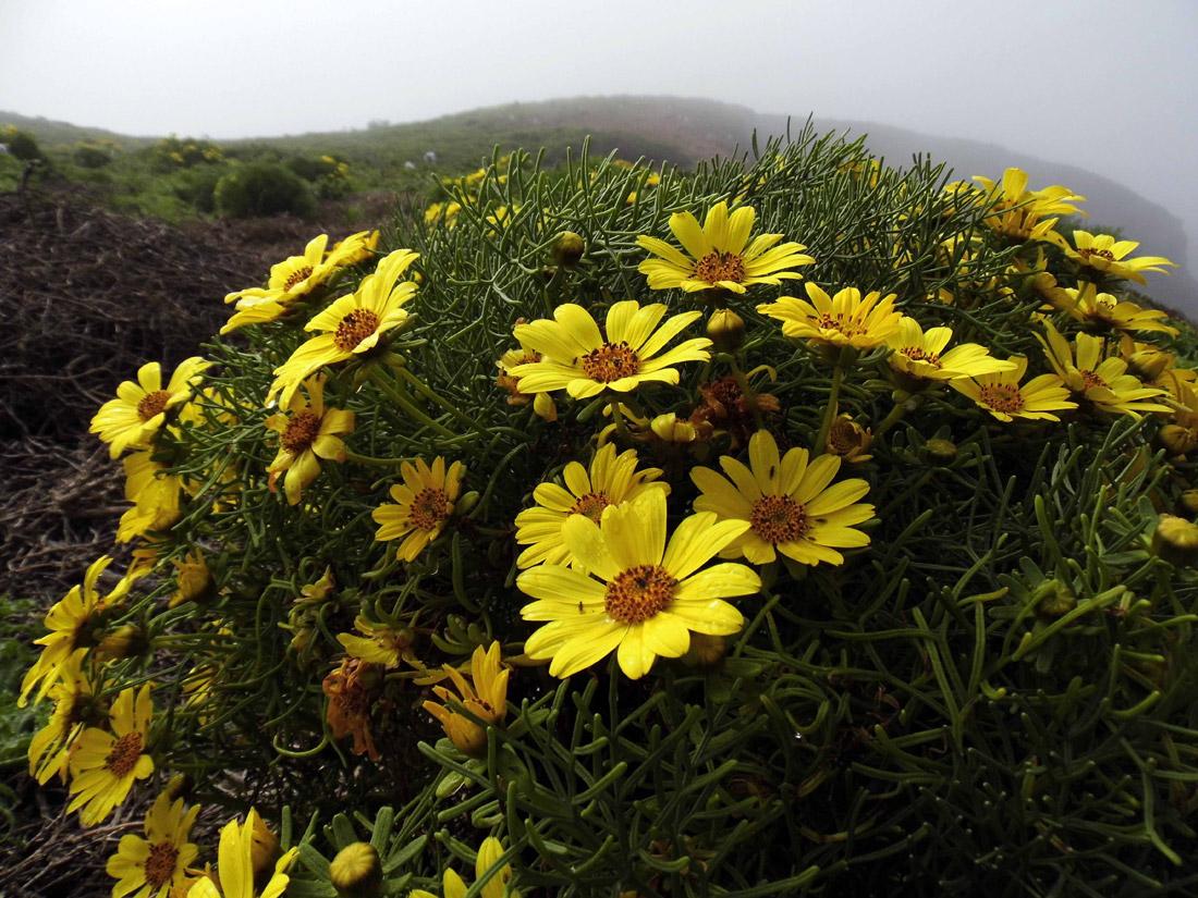 Anacapa Island: Flowers