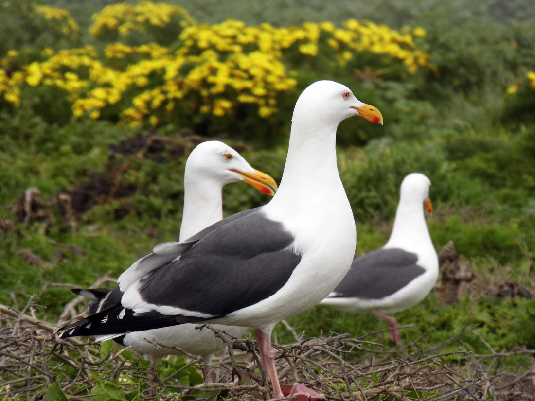 Anacapa Island: Seagulls