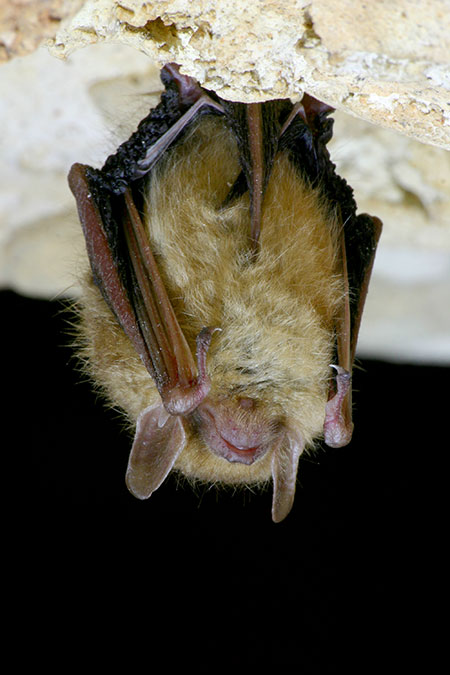 An eastern pipistrelle bat in Texas | Photo: iStock.com/jollyphoto