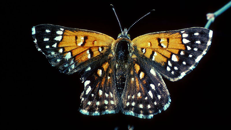 Lange's metalmark butterfly | Photo: USFWS